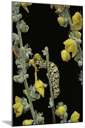 Cucullia Verbasci (Mullein Moth) - Caterpillar Feeding on Mullein-Paul Starosta-Mounted Photographic Print
