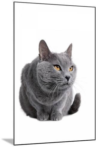 Chartreux Cat-Fabio Petroni-Mounted Photographic Print