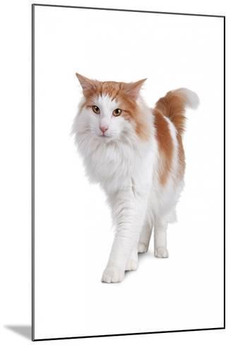 Norwegian Forest Cat-Fabio Petroni-Mounted Photographic Print