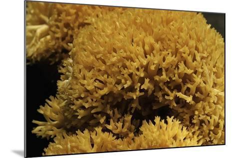 Ramaria Flavescens (Coral Fungus)-Paul Starosta-Mounted Photographic Print