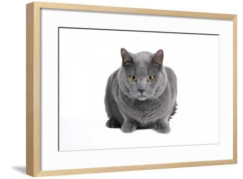 Chartreux Cat-Fabio Petroni-Framed Art Print