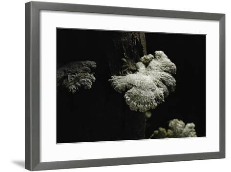 Schizophyllum Commune (Split Gill Fungus, Common Porecrust, Wood Decay)-Paul Starosta-Framed Art Print