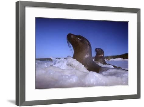 Sea Lions amidst Surf-DLILLC-Framed Art Print