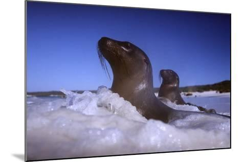 Sea Lions amidst Surf-DLILLC-Mounted Photographic Print