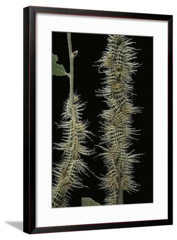 Automeris Egeus (Moth) - Caterpillars-Paul Starosta-Framed Art Print