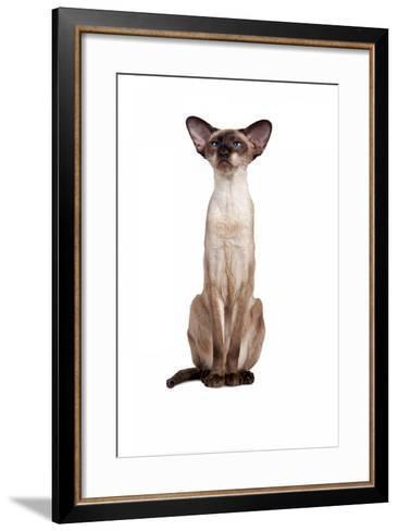 Siamese Cat-Fabio Petroni-Framed Art Print