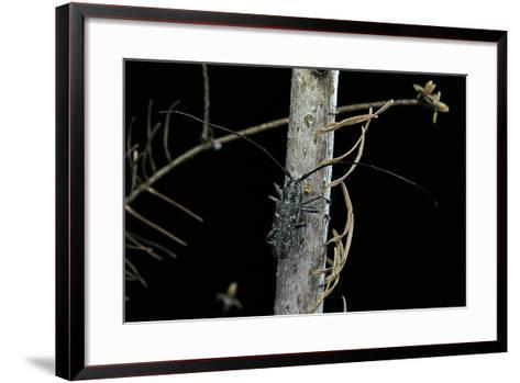 Monochamus Sartor (Sakhalin Pine Beetle)-Paul Starosta-Framed Art Print