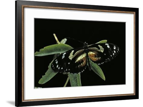 3/4 Heliconius Atthis X 1/4 Heliconius Hecale (Longwing Butterfly)-Paul Starosta-Framed Art Print