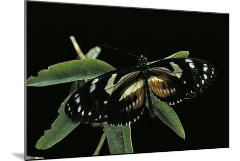 3/4 Heliconius Atthis X 1/4 Heliconius Hecale (Longwing Butterfly)-Paul Starosta-Mounted Photographic Print