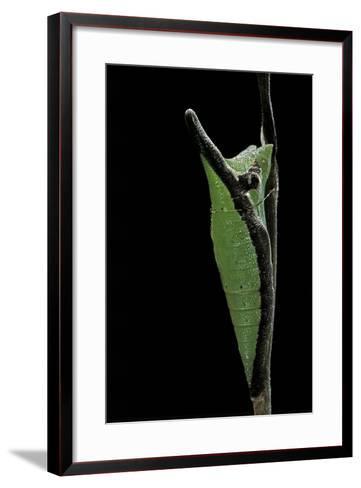 Graphium Stratocles (Swallowtail Butterfly) - Pupa-Paul Starosta-Framed Art Print