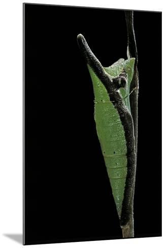 Graphium Stratocles (Swallowtail Butterfly) - Pupa-Paul Starosta-Mounted Photographic Print