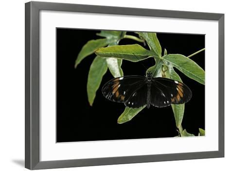 Heliconius Atthis Male X Heliconius Hecale Female X Heliconius Melpomene Female (Longwing Butterfly-Paul Starosta-Framed Art Print