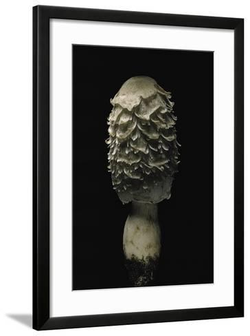 Coprinus Comatus (Shaggy Ink Cap, Lawyer's Wig, Shaggy Mane)-Paul Starosta-Framed Art Print
