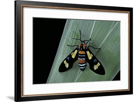 Euchromia Folletii (South African Day-Flying Moth)-Paul Starosta-Framed Art Print
