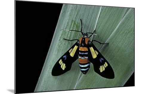 Euchromia Folletii (South African Day-Flying Moth)-Paul Starosta-Mounted Photographic Print