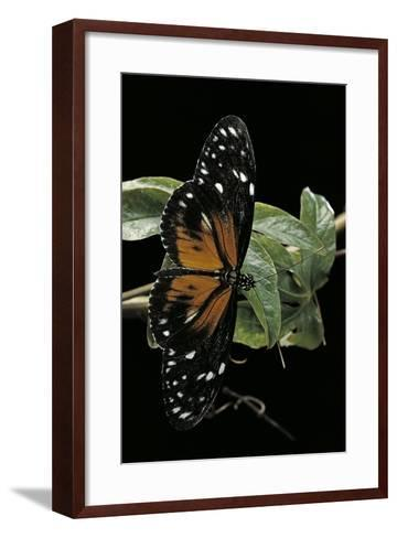 Heliconius Atthis Male X Heliconius Hecale Female (Longwing Butterfly)-Paul Starosta-Framed Art Print