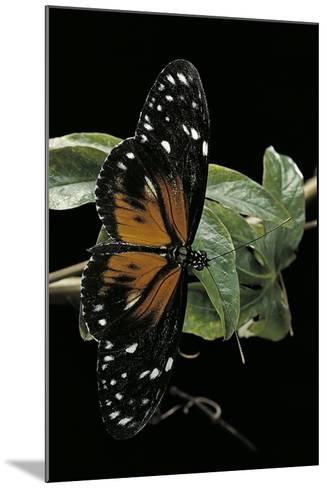 Heliconius Atthis Male X Heliconius Hecale Female (Longwing Butterfly)-Paul Starosta-Mounted Photographic Print