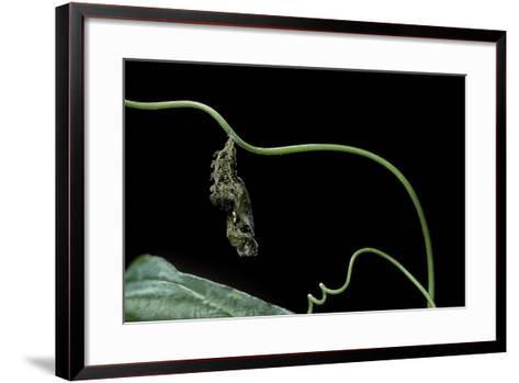 Dryas Julia (Julia Butterfly, the Flame) - Pupa-Paul Starosta-Framed Art Print