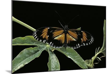 Heliconius Atthis Male X Heliconius Hecale Female X Heliconius Melpomene Female (Longwing Butterfly-Paul Starosta-Mounted Photographic Print