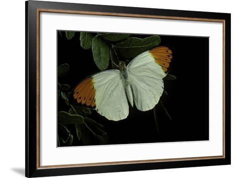 Hebomoia Glaucippe (Great Orange Tip)-Paul Starosta-Framed Art Print