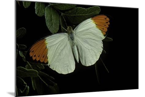 Hebomoia Glaucippe (Great Orange Tip)-Paul Starosta-Mounted Photographic Print