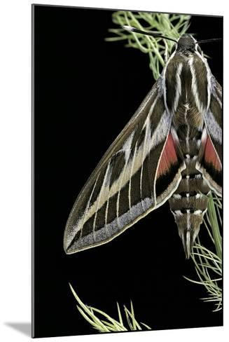 Hyles Lineata (White-Lined Sphinx, Hummingbird Moth)-Paul Starosta-Mounted Photographic Print