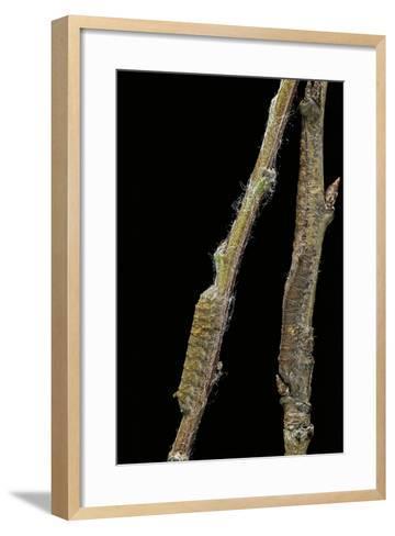 Gastropacha Quercifolia (Lappet Moth) - Caterpillars Camouflaged on Twigs-Paul Starosta-Framed Art Print