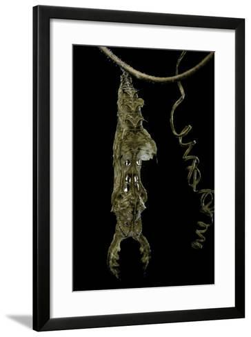 Heliconius Charitonia (Zebra Longwing) - Pupa on Passion Flower Tendril-Paul Starosta-Framed Art Print