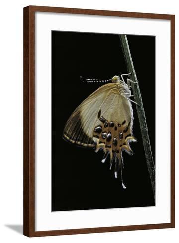 Helicopis Cupido (Cupido Metalmark Butterfly) - Female-Paul Starosta-Framed Art Print