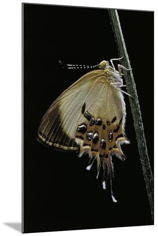 Helicopis Cupido (Cupido Metalmark Butterfly) - Female-Paul Starosta-Mounted Photographic Print