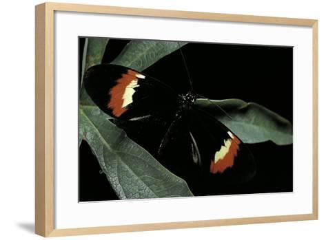 Heliconius Melpomene (Postman Butterfly)-Paul Starosta-Framed Art Print