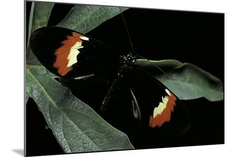 Heliconius Melpomene (Postman Butterfly)-Paul Starosta-Mounted Photographic Print