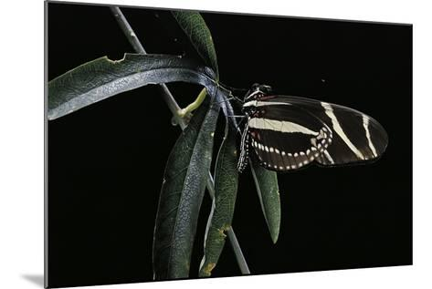 Heliconius Charithonia (Zebra Longwing)-Paul Starosta-Mounted Photographic Print