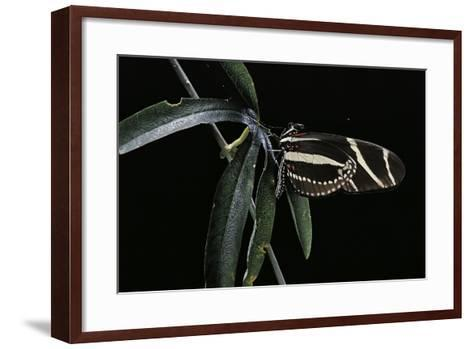 Heliconius Charithonia (Zebra Longwing)-Paul Starosta-Framed Art Print