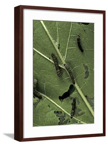 Bombyx Mori (Common Silkmoth) - Young Larvae or Silkworms Feeding on Mulberry Leaf-Paul Starosta-Framed Art Print