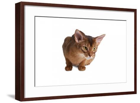 Abyssinian Cat-Fabio Petroni-Framed Art Print