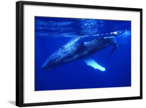 Humpback Whale Swimming Underwater-DLILLC-Framed Art Print