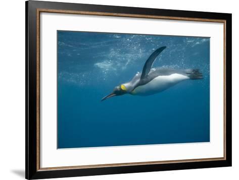 King Penguin Swimming-DLILLC-Framed Art Print