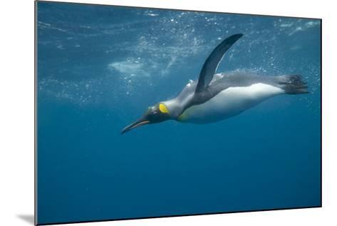 King Penguin Swimming-DLILLC-Mounted Photographic Print