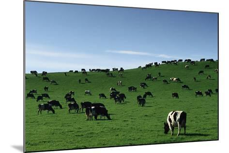Herd of Dairy Cows Grazing-Jon Hicks-Mounted Photographic Print