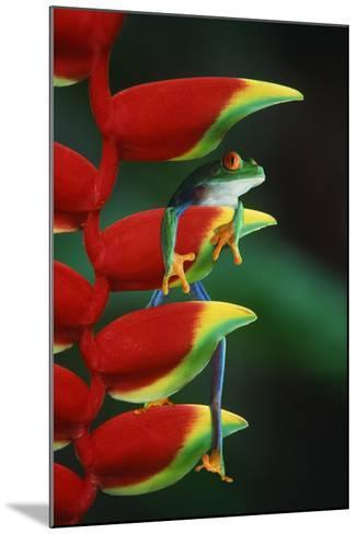 Red Eyed Tree Frog Climbing Plant-DLILLC-Mounted Photographic Print