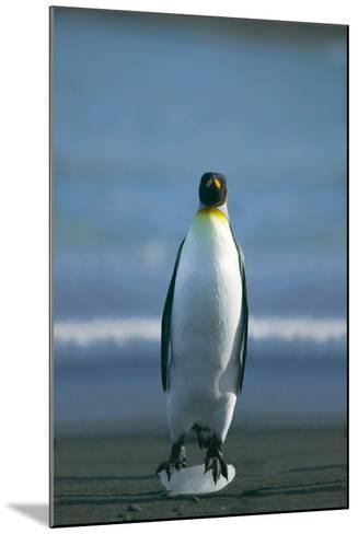 King Penguin Cooling Feet-DLILLC-Mounted Photographic Print