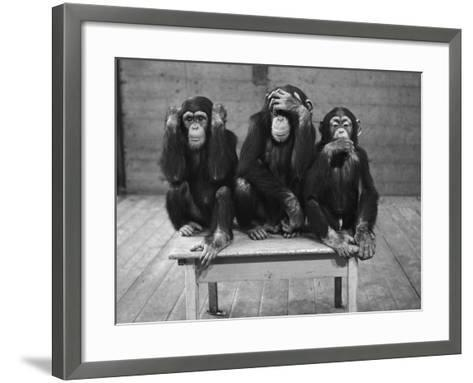 Chipanzees Not Hearing, Seeing or Speaking Evil--Framed Art Print