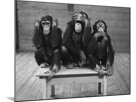 Chipanzees Not Hearing, Seeing or Speaking Evil--Mounted Photographic Print
