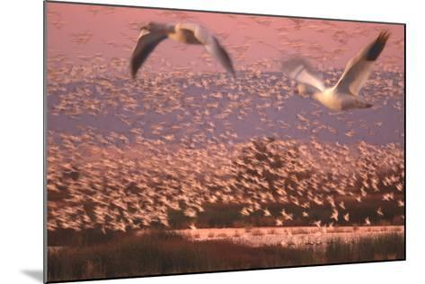 Flock of Birds Flying-DLILLC-Mounted Photographic Print