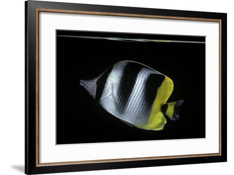 Chaetodon Ulietensis (Pacific Double-Saddle Butterflyfish)-Paul Starosta-Framed Art Print