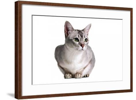 Burmilla Cat-Fabio Petroni-Framed Art Print