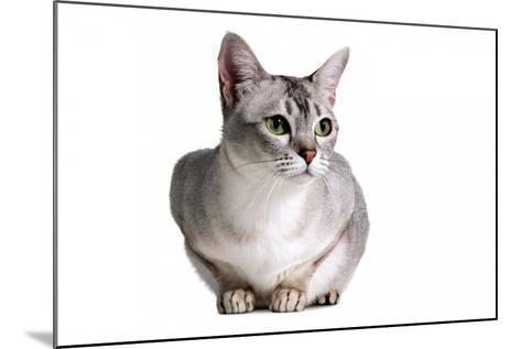 Burmilla Cat-Fabio Petroni-Mounted Photographic Print