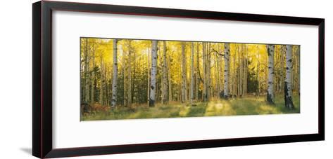 Aspen Trees in Coconino National Forest, Arizona, USA--Framed Art Print