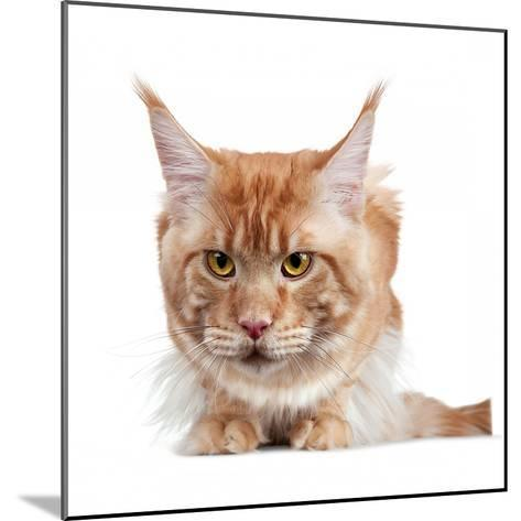 Maine Coon Cat-Fabio Petroni-Mounted Photographic Print